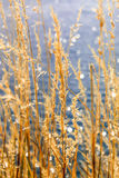 Coastal reed Royalty Free Stock Photography