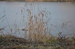 Coastal reed and lake water Stock Image