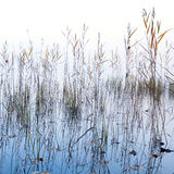 Coastal reed and shining lake water in fog Stock Photos