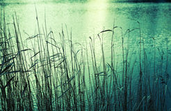 Coastal reed silhouettes, green toned photo Stock Image