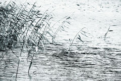Coastal reed silhouettes over still lake water Stock Photos