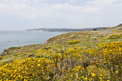 Coastal Road. California coastal road banked with bright yellow wildflowers Royalty Free Stock Images
