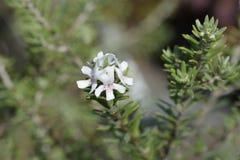 Coastal rosemary. Latin name - Westringia fruticosa royalty free stock photo