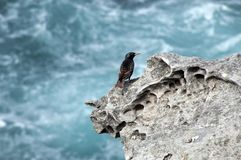 Starling perched on rocks with ocean coastal wash in background stock photography