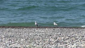 Coastal seagulls stock video