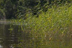 The coastal sedge. Part of the lake with views of the coast, overgrown by sedge Stock Image