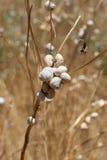 Coastal snails (Theba pisana) on stem Stock Photography