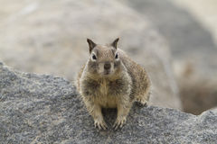 Coastal Squirrel. Watch people and dogs as they walk by Stock Images