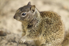 Coastal Squirrel. Watch people and dogs as they walk by Royalty Free Stock Photography