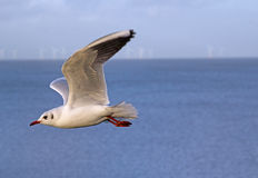 Coastal tern seagull in flight Stock Photography