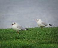 Coastal terns Royalty Free Stock Images