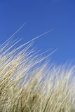 Coastal Tranquility. Reeds with perfect blue sky - Fantastic shallow Depth of field Royalty Free Stock Photography