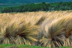 Coastal Tussock Grass of Australia in wind royalty free stock photo
