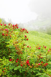 Coastal village on fjord shore at bottom of hill. With rosebush, focus on flowers Royalty Free Stock Image