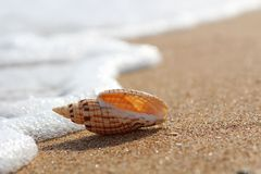 The coastal wave touches a beautiful shell lying on a clean sandy coast.  royalty free stock photo