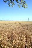 Coastal Wheatfields. Stock Photography
