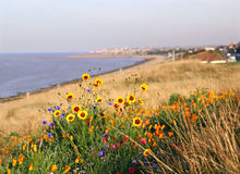Coastal wild flowers. Photo of beautiful wild flowers in bloom by the coastal resort of whitstable in kent Stock Photo