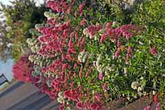 Coastal wild flowers Stock Image