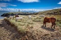 Coastal Wild Horses. Wild horses grazing on Llanddwyn Island, a peninsula on Anglesey. Newborough, Anglesey, Wales, United Kingdom Royalty Free Stock Image