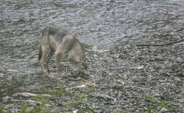 Coastal Wolf bite Royalty Free Stock Photo