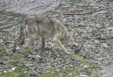 Coastal Wolf biting into a salmon Stock Photos