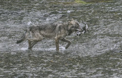 Coastal Wolf caught salmon. A coastal wolf caught a salmon in a creek.  Rare Alaskan wolf in the Tongass National forest, Alaska.  Fish Creek near Hyder Stock Photos