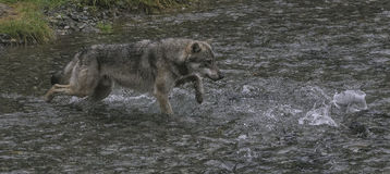 Coastal Wolf chases salmon. A coastal wolf chases salmon in a creek.  Rare Alaskan wolf in the Tongass National forest, Alaska, near Hyder Royalty Free Stock Images