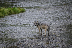 Coastal Wolf in creek Royalty Free Stock Images