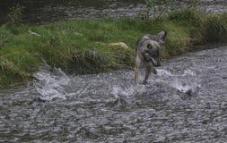 Coastal Wolf fishing Stock Image