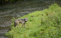 Coastal Wolf looking back Stock Photography