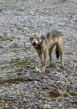 Coastal Wolf munching Stock Image