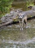Coastal Wolf portrait Royalty Free Stock Image