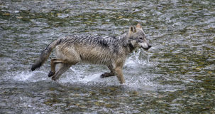 Coastal Wolf runs. A coastal wolf runs through a creek, on the lookout for nearby salmon during the annual salmon run.   Rare Alaskan wolf in the Tongass Royalty Free Stock Photos