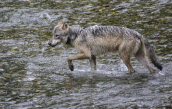 Coastal Wolf. A coastal wolf walks through a creek in Alaska.   Rare Alaskan wolf in the Tongass National forest, Alaska.  Fish Creek near Hyder Stock Photos