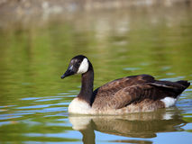 Coasting. A Canada Goose (branta canadensis) swimming in a pond Stock Photos