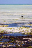 Coastline  bird in the  blue lagoon relax  of africa Stock Images