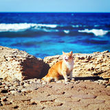 Coastline with ginger tabby roar cat Royalty Free Stock Image