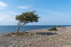 Coastline with windblown tree by seaside Royalty Free Stock Photography