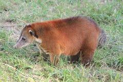 `Coatí` mammal animal Stock Images