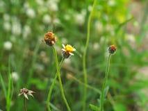 Coat buttons, Mexican daisy, Tridax daisy, Wild Daisy Royalty Free Stock Photography