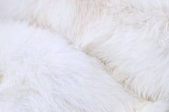 Coat of dog. White coat of samoyed dog Stock Photo