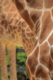 Coat pattern for a giraffe with another giraffe long legs in the background Royalty Free Stock Images