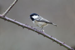 Coat tit, Parus ater Stock Photography