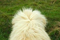 Coat of white lion Stock Photo