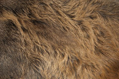 Coat. Of the wild boar Royalty Free Stock Photography