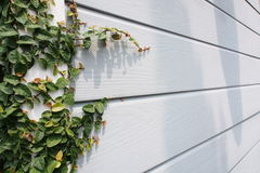 Coatbutton or maxican daisy wall. The decoration of wall with plants and small tree with coatbuttons or maxican daisy is the famous home outdoor decoration and Stock Image