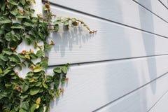 Coatbutton oder maxican Gänseblümchenwand stockbild