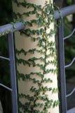 Coatbuttons или мексиканская маргаритка Стоковые Фото