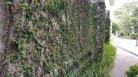 Coatbuttons, мексиканская маргаритка лист дерева малые засаженные на стене как орнаментальный завод для украшают стену или загоро стоковое изображение rf