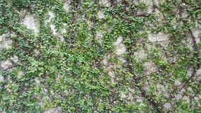 Coatbuttons, margherita messicana la piccola foglia dell'albero piantata sulla parete come pianta ornamentale per decora una pare Immagini Stock Libere da Diritti